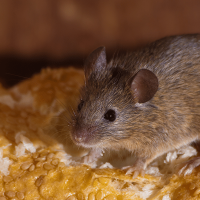 How to deal with mice in the house