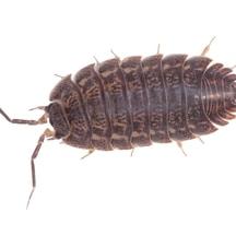 extermination cloporte exterminer insecte cloporte maison. Black Bedroom Furniture Sets. Home Design Ideas