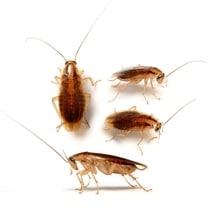 extermination coquerelle liminer blattes cafards de votre maison. Black Bedroom Furniture Sets. Home Design Ideas