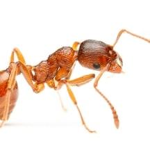 extermination fourmis pharaons d barrassez vous des fourmis. Black Bedroom Furniture Sets. Home Design Ideas