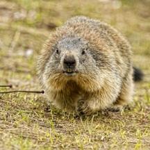 exterminateur marmotte comment se d barrasser des marmottes. Black Bedroom Furniture Sets. Home Design Ideas