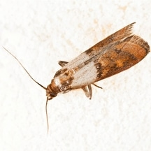 Indian Moth Control Services | Indian Moth Extermination in