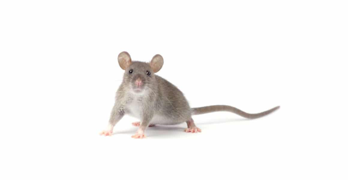 difference between mouse and rat