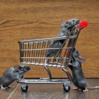 Comment prévenir une intrusion de souris à l'approche de l'hiver