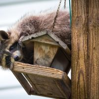 Are raccoons dangerous for Quebec residents?