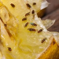 How do you get rid of fruit flies in your home?