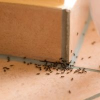 Ants: how to get rid of these unwelcome visitors