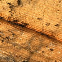 What are the risks associated with carpenter ants?