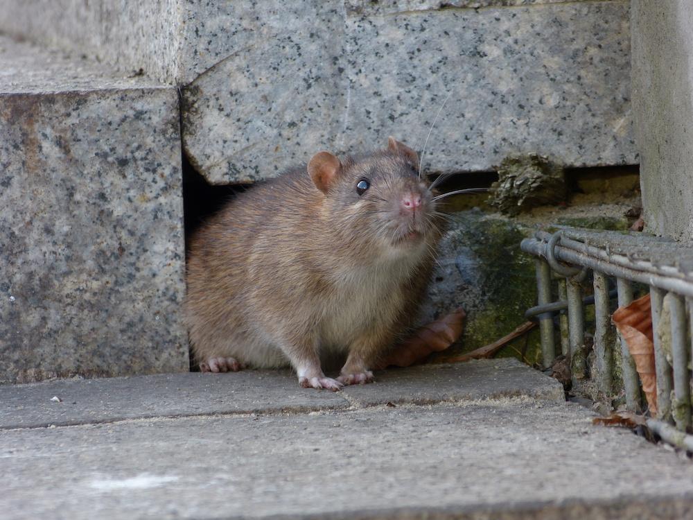 especes-rongeurs-canada-rat