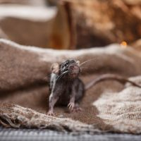 Does the number of rodents in Quebec homes increase during winter?
