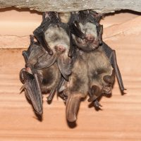 Why do you need to decontaminate a room where bat droppings have been found?