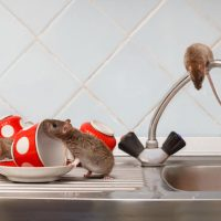 How to clean your home after a rat infestation