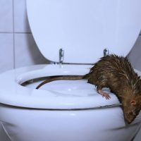 Does the state of sewer systems increase in the number of rats in large cities in Quebec?