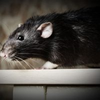 Are rat populations on the rise in Quebec's major cities?