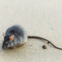 What are the health risks associated with pest droppings?