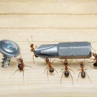 How to destroy a carpenter ant nest and get rid of it
