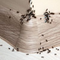 Is an ant infestation a danger to your house?