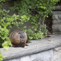 Quels sont les dommages pouvant être causés par la présence de marmottes sur votre terrain