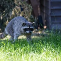 What is raccoon rabies and can humans catch it?