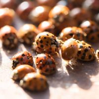 What dangers do Asian lady beetles pose?