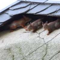 How can you prevent squirrels from settling in your attic?