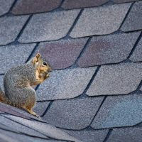 How to get rid of roof rats or rodents in your attic