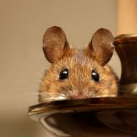 7 foolproof tips to keep mice away from your house
