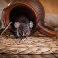 Fall is coming: how to prepare yourself to control rodent infestations
