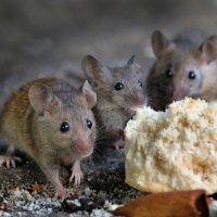 How to manage rodent infestations in your business