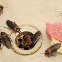 Quels sont les risques associés à une infestation de coquerelles?
