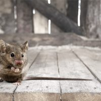 Cold weather causes mice to migrate to homes: how can you protect yourself from intrusions?