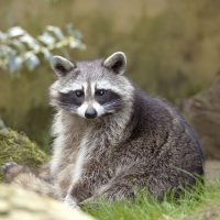 Trapping raccoons: how to get rid of these wild animals adapted to urban life