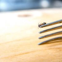 Ant infestation causes: what attracts ants to your home?