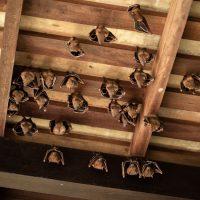 Comment se débarrasser d'une chauve-souris qui se cache dans votre maison?