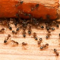 A long list of natural ant repellents for home use