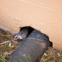 How do mice enter homes?