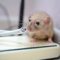 Are mice dangerous?