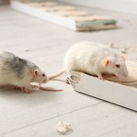 Why and how to clean up and decontaminate your home after a mouse infestation