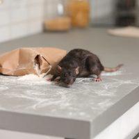 Comment attraper une souris dans la maison