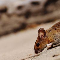 Comment attraper une souris dans votre maison?
