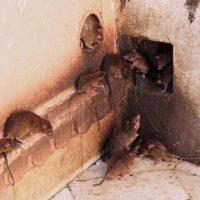 Comment se débarrasser des rats dans la maison?