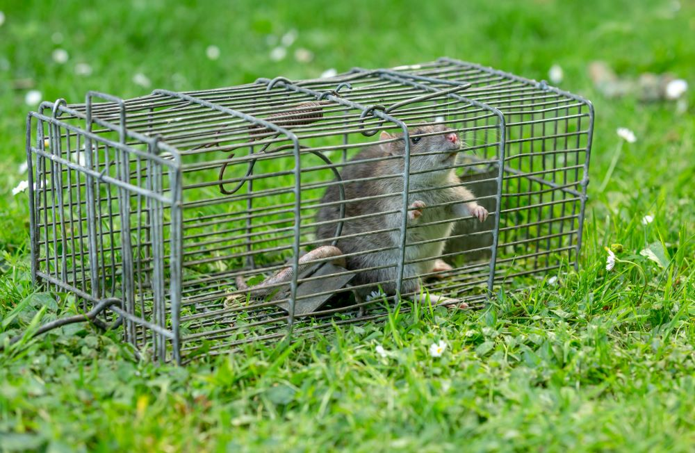 rat-capture