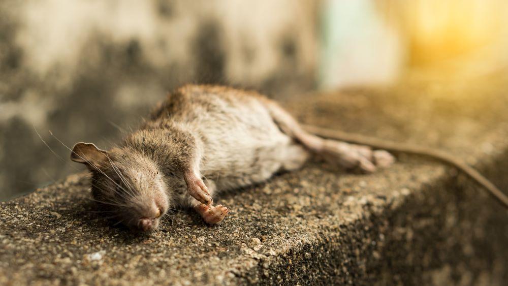 rat-mort